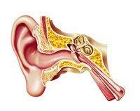 Anatomie des Ohrs