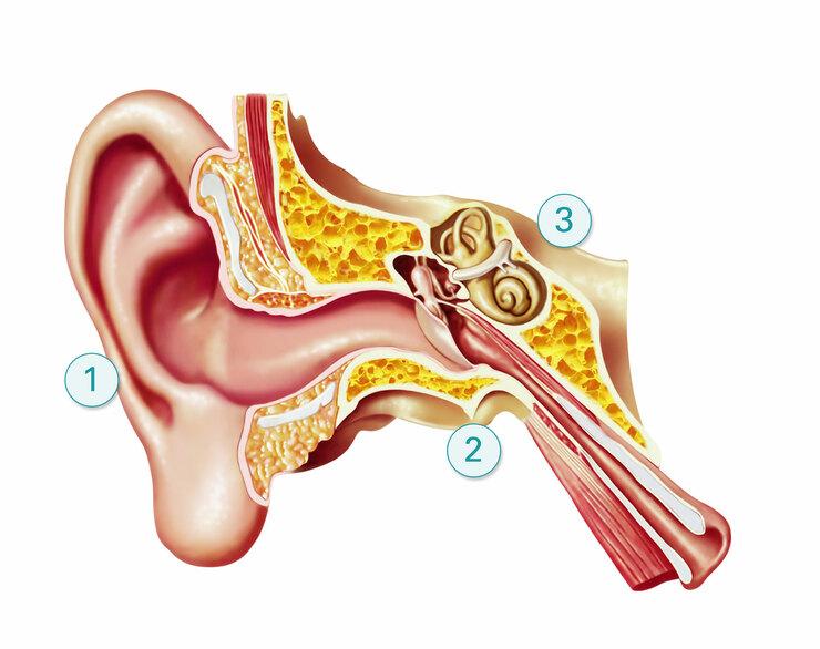 Die Anatomie des Ohrs mit Außen-, Mittel- und Innenohr